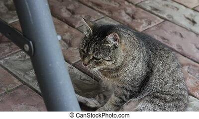 fat cat, 2 shots - fat cat looking at the camera