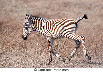 Baby Zebra - Little Zebra foal running very clumsily through...