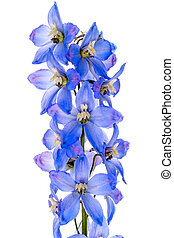 Blue Delphinium flowers on white