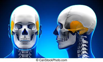 Male Temporal Bone Skull Anatomy - blue concept