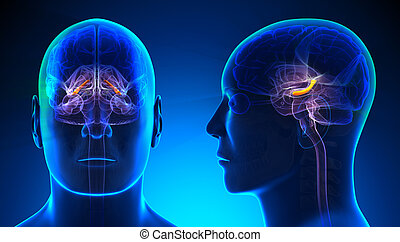 Male Hippocampus Brain Anatomy - blue concept