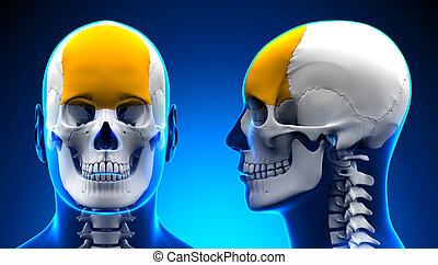 Male Frontal Bone Skull Anatomy - blue concept