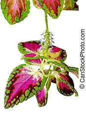 Coleus houseplant - Coleus (Solenostemon) is a genus of...