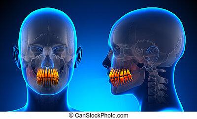 Female Teeth Dental Anatomy - blue concept