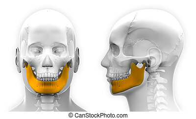 Male Mandible Bone Skull Anatomy - isolated on white