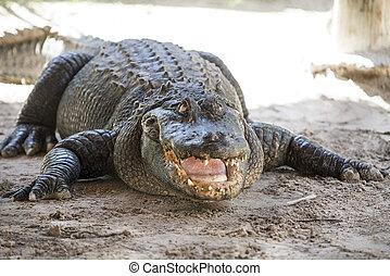 alligator everglades - alligator in its natural habitat in...