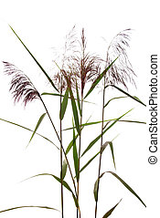 reed - high  reed grass on white background