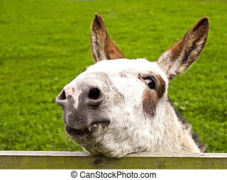 donkey looking over a fence - a young donkey looking over a...