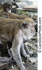 Macaque mother with it's baby on the background