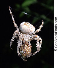 Garden spider cannibal - A garden spider eating another...