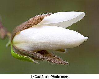 magnolia-tree flower bud - Big flower buds of magnolia-tree...