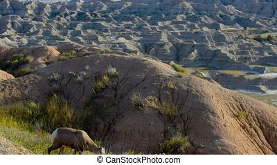 Bighorn Sheep Badlands South Dakota - Badlands Bighorn Sheep...