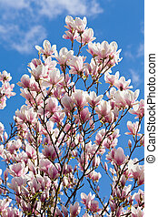magnolia-tree - Blossoming twig of magnolia-tree on blue sky...