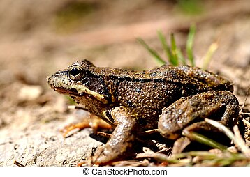 Brown frog, rana temporaria - Brown frog, close up, profile