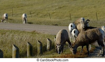 Badlands Bighorn Sheep - Bighorn Sheep near the road...