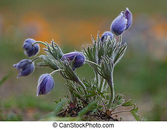 Pulsatilla grandis - buds Pulsatilla grandis on the meadow