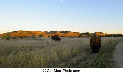 American Buffalo Badlands Bison Sou - Wild Buffalo roaming...