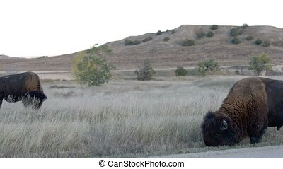 American Buffalo Badlands Bison Sou