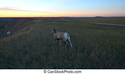 Badlands Bighorn Sheep - Bighorn Sheep against Sunset Sky...