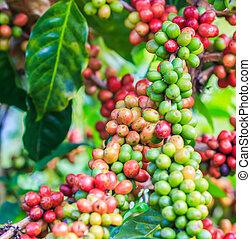 café, feijões, arabica, ligado, árvore,...