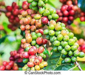 café, frijoles, Arabica, en, árbol, en, norte,...