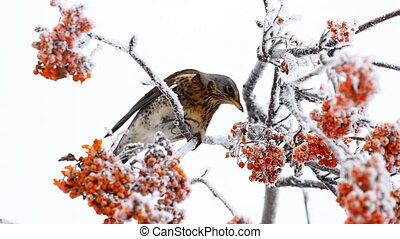 Thrush eats rowanberry in winter
