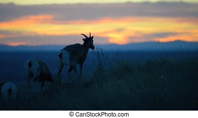 Badlands Bighorn Sheep at Sunset - Bighorn Sheep against...