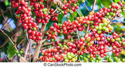 café, norte, árvore,  arabica, feijões, tailandia