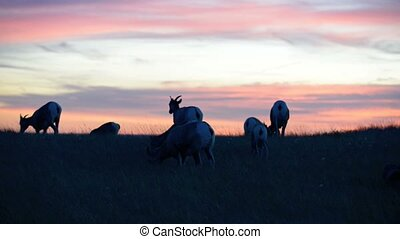 Badlands Bighorn Sheep at Sunset - Herd of Bighorn Sheep...