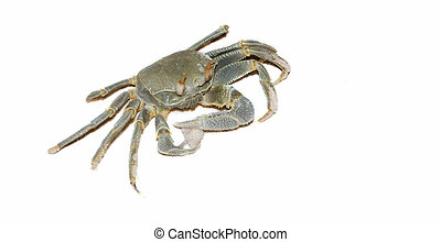 Crab - Small sand crab holding the shell isolated on white
