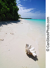 Shell on the beach - Giant shell is lying on a tropical...