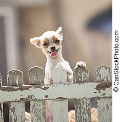 funny face of pomeranian dog climbing wooden fence of home...