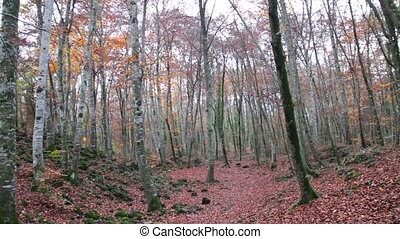 Beech Forest with Falling Leaves - Red Mediterranean Beech...