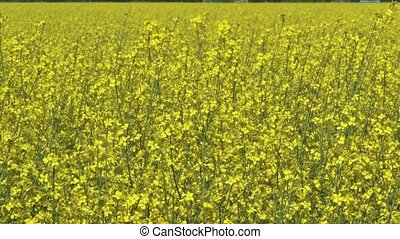 Rapeseed (Brassica napus) - full screen yellow blooming...
