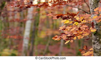 Beech Forest with Falling Leaves in - Red Mediterranean...