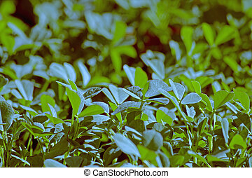 Plants of Fenugreek Foenum-graecum in a field