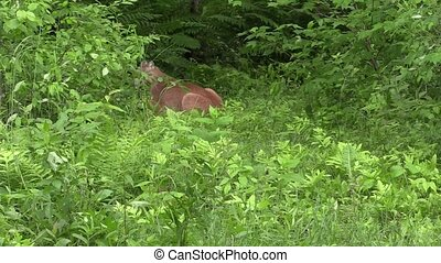 cougar comes out of the woods - Cougar walks out of the...