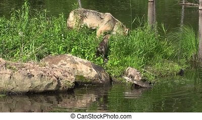 Two Timber wolf pups and mom - Timber wolf and two wet pups...