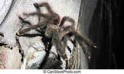 Tarantula in the Amazon