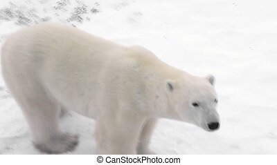 polar bear outside tundra lodge - Polar bear wanders around...