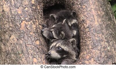 Baby raccoons in a tree hollow jockey for position