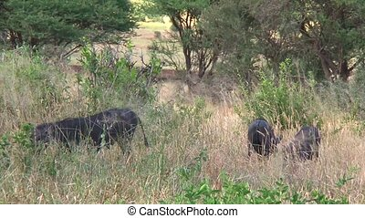 Warthogs are surprised by an impala running in front of them...