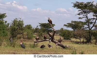 Vultures on a dried limb - vultures and other birds of prey...