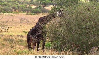 male giraffe eats from a tree