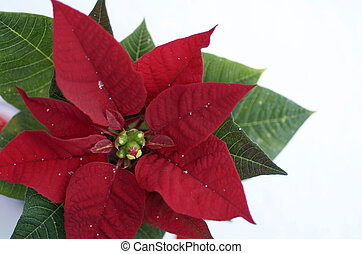 Poinsettia - Single poinsettia against white.