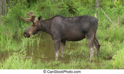 Large male moose drinking from water in a marsh area, turns...
