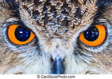 águila, búho, (Eurasian, águila, owl),...