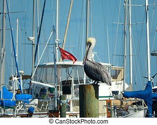 Brown pelican Santa Barbara California us