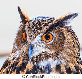 águila,  bubo,  owl),  (eurasian, búho