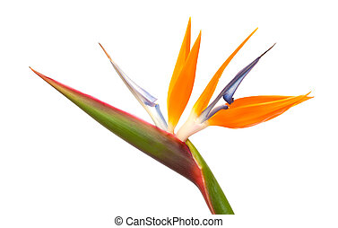 Strelitzia reginae, bird of paradise flower isolated